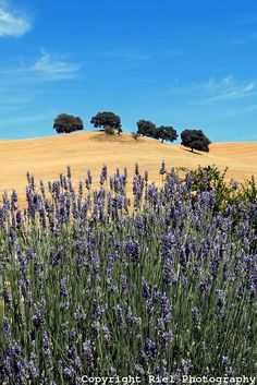 Lavender & Rolling Fields, Ronda, Spain