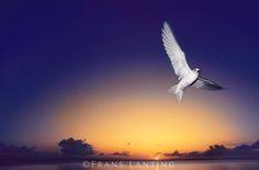 Fairy tern at twilight, Gygis alba, Hawaiian Leeward Islands