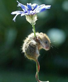 field mouse on cornflower