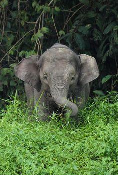 Young Borneo Pygmy Elephant