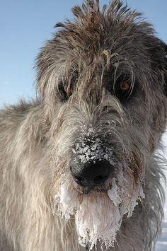 missing my frozen wolfhound - it's getting cold in Afghanistan :(