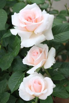 ' A Whiter Shade of Pale' | Hybrid Tea Rose.  Colin A Pearce 2006