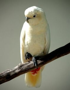 Kalangay (philippine cockatoo or red-vented cockatoo)
