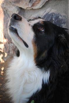 Australian Shepherd. Color is black tri.