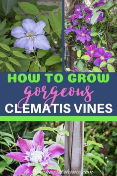 Learn how to prune, grow and care for Clematis to get those big purple, blue and pink blooms in your garden. This guide includes lots of pictures and a list of the best varieties to grow. I love these perennial flowering vines! Clematis Care, Clematis Plants, Autumn Clematis, Clematis Flower, Shade Perennials, Flowers Perennials, Planting Flowers, Flower Gardening, Fruit Garden