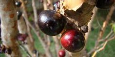 Como tirar mancha de jabuticaba da roupa Fruit, Remover, Mildew Stains, House Cleaners, Backyards, Cleaning Tips, Outfit