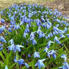 Färbt Wiesen im Frühling blau - Scilla siberica - Pflanzzeit ist im Herbst (als Blumenzwiebeln)