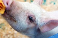 Victory for Pigs! Canada Bans Gestation Crates
