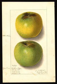 Newtown Pippin, as grown in Santa Cruz County, California. Watercolor by Ellen Isham Schutt, 1910.