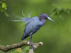 little blue heron by amaw on Flickr.