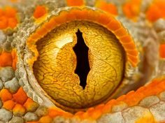 Eye of a Tokay Gecko. A close-up shot of a Tokay Gecko. Fotografia Macro, Beautiful Eyes, Animals Beautiful, Pretty Eyes, Lizard Eye, Reptile Eye, Regard Animal, Snake Eyes, Close Up Photography