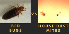 Bed Bugs, House Dust Mites - What's the Difference?