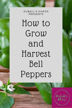How to get your own flavor-filled garden with a full summer of bell peppers. Organic Herbs, Organic Vegetables, Growing Vegetables, Organic Gardening, Vegetable Gardening, Bell Pepper Plant, Pepper Plants, Gardening For Beginners, Gardening Tips