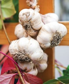 Fill your pantry with our season-by-season guide to growing garlic, including a description of hardneck and softneck varieties, what to do with garlic scapes, and more.