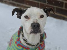 TO BE DESTROYED - 03/09/15 Brooklyn Center -P My name is HOVIE. My Animal ID # is A1028389. I am a female black and white pit bull mix. The shelter thinks I am about 3 YEARS old. https://www.facebook.com/photo.php?fbid=966224720057074  https://www.facebook.com/Urgentdeathrowdogs/photos/a.611290788883804.1073741851.152876678058553/966224720057074/?type=3&theater