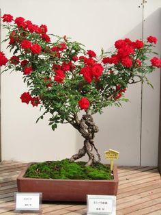 まるで人が支えているよう。 : 素晴らしき薔薇盆栽の世界 日本に生まれてきてよかったと思える32枚の画象。 - NAVER まとめ