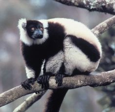 black and white ruffed lemur | ... Factsheets Image: Black-and-white ruffed lemur (Varecia variegata
