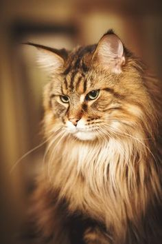 Are you looking to find Maine Coon Kittens for sale? We have some tips and advice to help you find these cats for sale from a trusted breeder in your area Kittens Cutest, Cats And Kittens, Cute Cats, Funny Cats, Ragdoll Kittens, Bengal Cats, White Kittens, Siamese Cats, Funny Kitties
