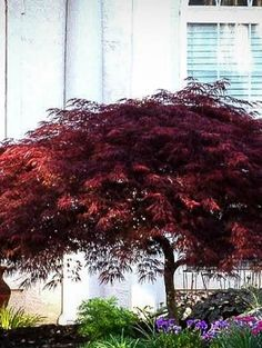 Red Dragon Japanese Maple - I find this tree very cute, and is small? so on big shadow One Tree, Garden Trees, Lawn And Garden, Indoor Garden, Red Dragon Japanese Maple, Dwarf Japanese Maple Tree, Japenese Maple, Bloodgood Japanese Maple, Maple Leaf