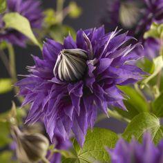 "Klematis ""Multi Blue"" výška cca 75 cm kvetináč cca l tmavomodrý nakúpiť v OBI Clematis Care, Clematis Trellis, Clematis Flower, Pink Peonies, Yellow Roses, Purple Flowers, Clematis Montana, Clematis Multi Blue, Clematis Varieties"