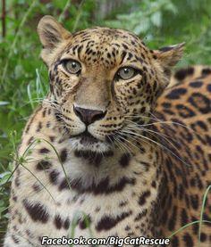 Big Cat Updates Sundari is on Funcation. Funny Cats, Funny Animals, Wild Animals, Large Cat Breeds, Big Cat Rescue, Cat Valentine, Domestic Cat, Leopards, Halloween Cat