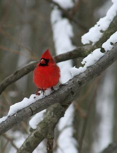 Outstanding winter color. - Cardinal