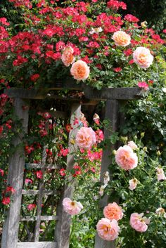 Pink climbing roses of my dreams