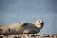 Het is niet de eerste keer dat Gewone zeehonden te kampen krijgen met een erg dodelijk virus. Ze verloren al twee keer eerder de helft van hun populatie aan virusuitbraken (Foto: Shutterstock)