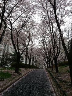 벚꽃 꽃비가 흩날리던 오후 산책길 풍경