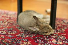 Pet rabbits love to chew and dig. Learn tips on bunny proofing your house or apartment so you can protect both your home and your pet rabbit.
