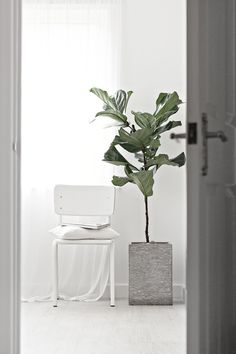 My Dining Room: Fiddle Fig by Mae Gabriel oversized plants inside