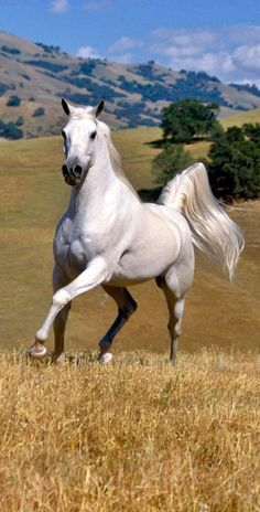 A Beautiful White Stallion.