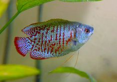 Dwarf Gouramis are lovely fish to keep in any home fish tank. Read our ultimate Dwarf Gourami care guide and see how easy these fish are to keep. Tropical Freshwater Fish, Tropical Fish Tanks, Freshwater Aquarium, Aquarium Fish, Nature Aquarium, Beautiful Tropical Fish, Beautiful Fish, Cory Catfish, Gourmet