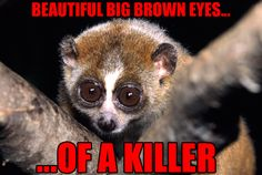 Slow loris.   9 'Cute' Animals You Really Ought To Be More ScaredOf