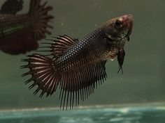 Black Copper Crowntail Female OH MY GOD THIS ONE TOO WHY LIFE WHY #betta #fish #femalebetta #crowntail