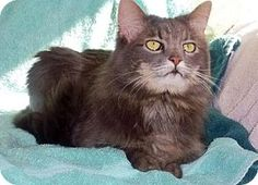 Still in need 6-22 Westampton, NJ - Domestic Longhair. Meet C-56817 Evie (in foster) a Cat for Adoption.This gorgeous kitty is Evie! She was sadly surrendered to the shelter for no fault of her own and is now living in a foster home. Evie is five years old, declawed and is very sweet. Her foster mom tells us that Evie is affectionate once she gets to know you and is happy to just chill with you on the couch.