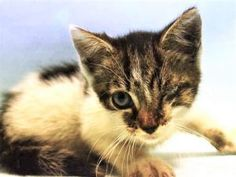NICKEL – 6 weeks, Super Urgent Shelter Cats These animals are either high risk, injured or have previously appeared on the To Be Destroyed list and survived. They are in danger of being on the list again or destroyed without any further notice. Kittens Cutest, Cats And Kittens, Cute Cats, Corneal Ulcer, Worlds Of Fun, Beautiful Creatures, Animal Rescue, The Fosters, Dog Cat
