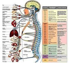 Risultati immagini per colonna vertebrale