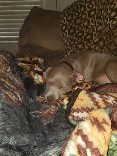 Kilo napping Blue Fawn Pitbull, Pitbulls, Dogs, Animals, Animales, Pit Bulls, Animaux, Pet Dogs, Pitbull