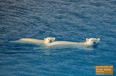 Mom and Cub Polar Bears Swimming in Greenland — earthXplorer adventure travel photography