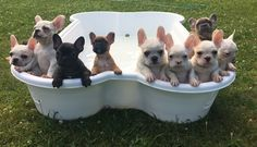 French Bulldog Puppies in a wading pool