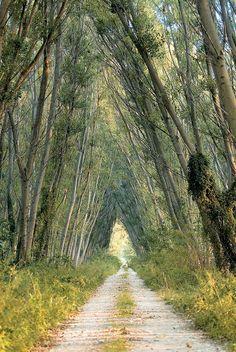 Ξάνθη: Θεόρατες οξιές σχηματίζουν τούνελ στο δάσος Κοτζά Ορμάν