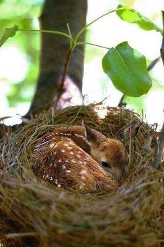 Fawn hiding.
