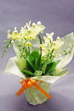 phalaenopsis smile taida | Phal.Taida Smile 3本立て 胡蝶蘭(Phalaenopsis)