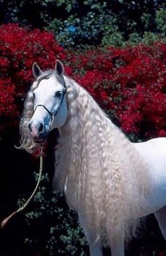 Login Andalusian White horse with the beautiful mane. Sure, the bushy perms of the might b Most Beautiful Horses, All The Pretty Horses, Beautiful Unicorn, Magical Unicorn, Cute Horses, Horse Love, Grey Horses, Wild Horses, Horse Pictures