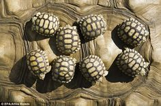 Growing fast: The baby African spurred tortoises could grow to up to 80 or 90kg as adults