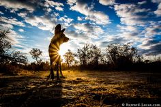 African Wild Dog by Will Burrard-Lucas on 500px