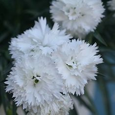 Dianthus 'Sunflor Odessa White'