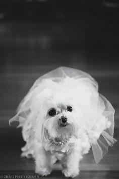 Beautiful Ballroom Wedding at Omni Willam Penn Hotel Dog Wedding, Dream Wedding, Wedding Dreams, Schnoodle Dog, Bichons, Mastador Dog, Koolie Dog, Ballroom Wedding, Cute