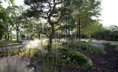 pineta pine